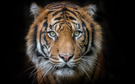 Preview wallpaper Tiger, portrait, predator, face, black background