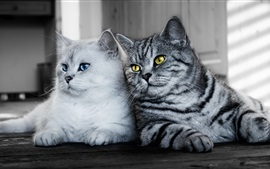 Preview wallpaper Two cats, white, gray