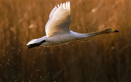 Preview wallpaper Wild duck, takeoff, flying, splashing