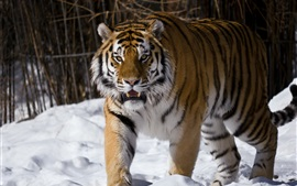 Preview wallpaper Amur tiger, snow, winter