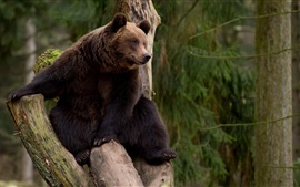 Preview wallpaper Bear climb tree, rest