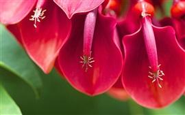 Cockscomb macro fotografia, flores vermelhas