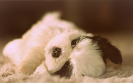 Preview wallpaper Cute Shih Tzu, dog lying