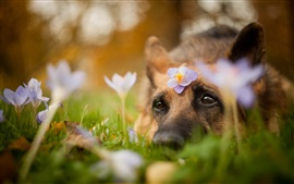 Preview wallpaper Dog, head, eyes, look, flowers