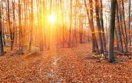 Floresta, outono, raios do sol, árvores, folhas