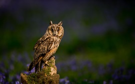 Preview wallpaper Long-eared owl, tree stump, blurring