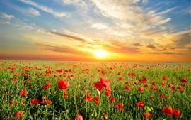 Poppies flowers field, beautiful sunset