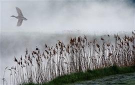 Juncos, lago, névoa, pato mosca