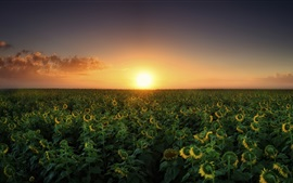 Preview wallpaper Sunset, sunflowers fields