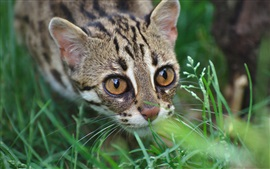 Preview wallpaper Wild cat, leopard, predator, grass