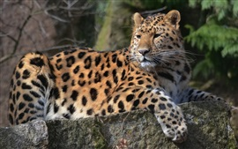 Preview wallpaper Animal leopard, look back, paws, whiskers