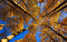 Preview wallpaper Birch, trees, trunk, yellow leaves, autumn