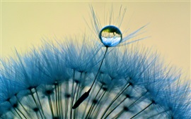 Dandelion close-up, macro, dew, water drop, blue