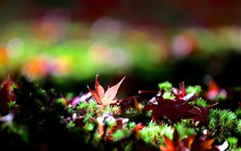 Preview wallpaper Grass, maple leaves, autumn, bokeh