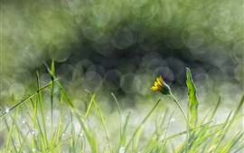 Green grass, yellow flower, dandelion, glare