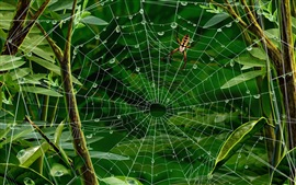 Preview wallpaper Insect, spider web, green leaves, water drops