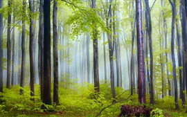 Nature scenery, forest, trees, morning, fog, after rain