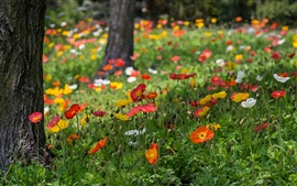 Poppies flowers, red, yellow, white, grass, park