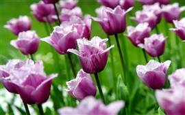 Preview wallpaper Purple tulips, flowers, petals, spring