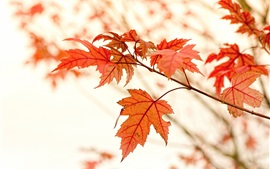 Red maple leaves, autumn, glare