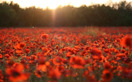 Preview wallpaper Red poppies, flowers field, sun rays