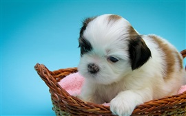 Shih Tzu, puppy, basket