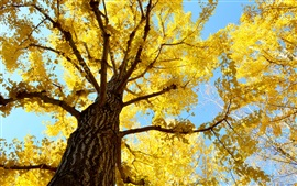 Tree, trunk, sky, yellow leaves, autumn
