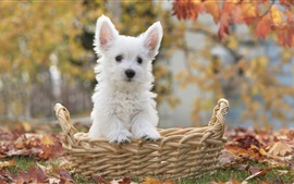 Preview wallpaper White dog in basket, autumn, leaves