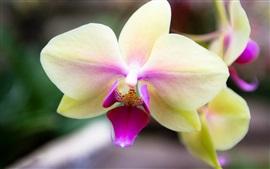 Branco pétalas phalaenopsis rosa