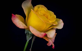 Yellow rose, black background