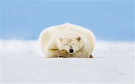 Preview wallpaper Alaska, polar bear sleep, ice, snow