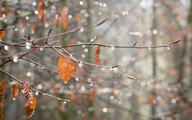 Autumn, branch, leaves, spider webs, drops