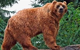 Urso marrom olhar para trás
