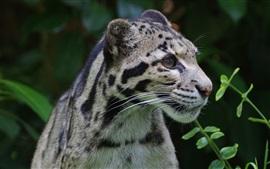 Leopardo nebuloso, gato selvagem, predador