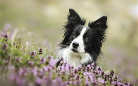 Preview wallpaper Cute dog, border collie, eyes, flowers