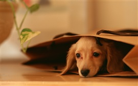 Preview wallpaper Cute puppy, lying, paper bag