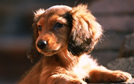 Preview wallpaper Dachshund dog, puppy, sun