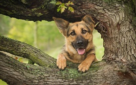 Preview wallpaper German shepherd, dog, wood, tree