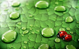 Preview wallpaper Green leaf, water drops, dew, insects, ladybirds