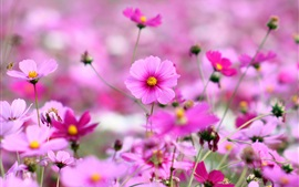 Preview wallpaper Kosmeya flowers, pink, bokeh