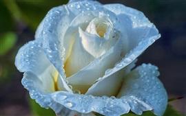 Aperçu fond d'écran Rose bleu clair, pétales, gouttes d'eau, de rosée