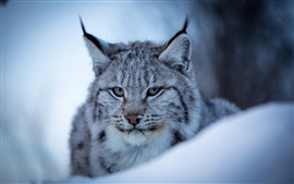 Preview wallpaper Lynx, wild cat, face, snow, winter