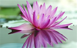 Preview wallpaper Pink water lily, lake, reflection