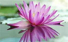 Aperçu fond d'écran Nénuphar rose, lac, réflexion