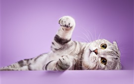 Preview wallpaper Scottish fold ears cat, feet, purple background