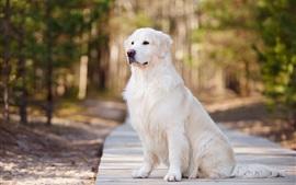 Preview wallpaper White dog, road, park, bokeh