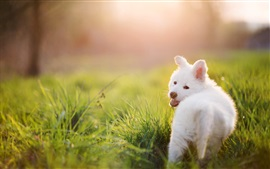 Preview wallpaper White puppy, dog, grass, summer, sun rays