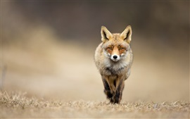 Preview wallpaper Animal fox front view
