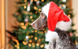 German Shorthair dog, red hat, Christmas, glare