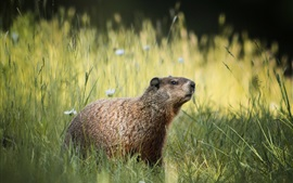 Preview wallpaper Grass, groundhog, flowers